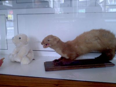 Polar and ferret